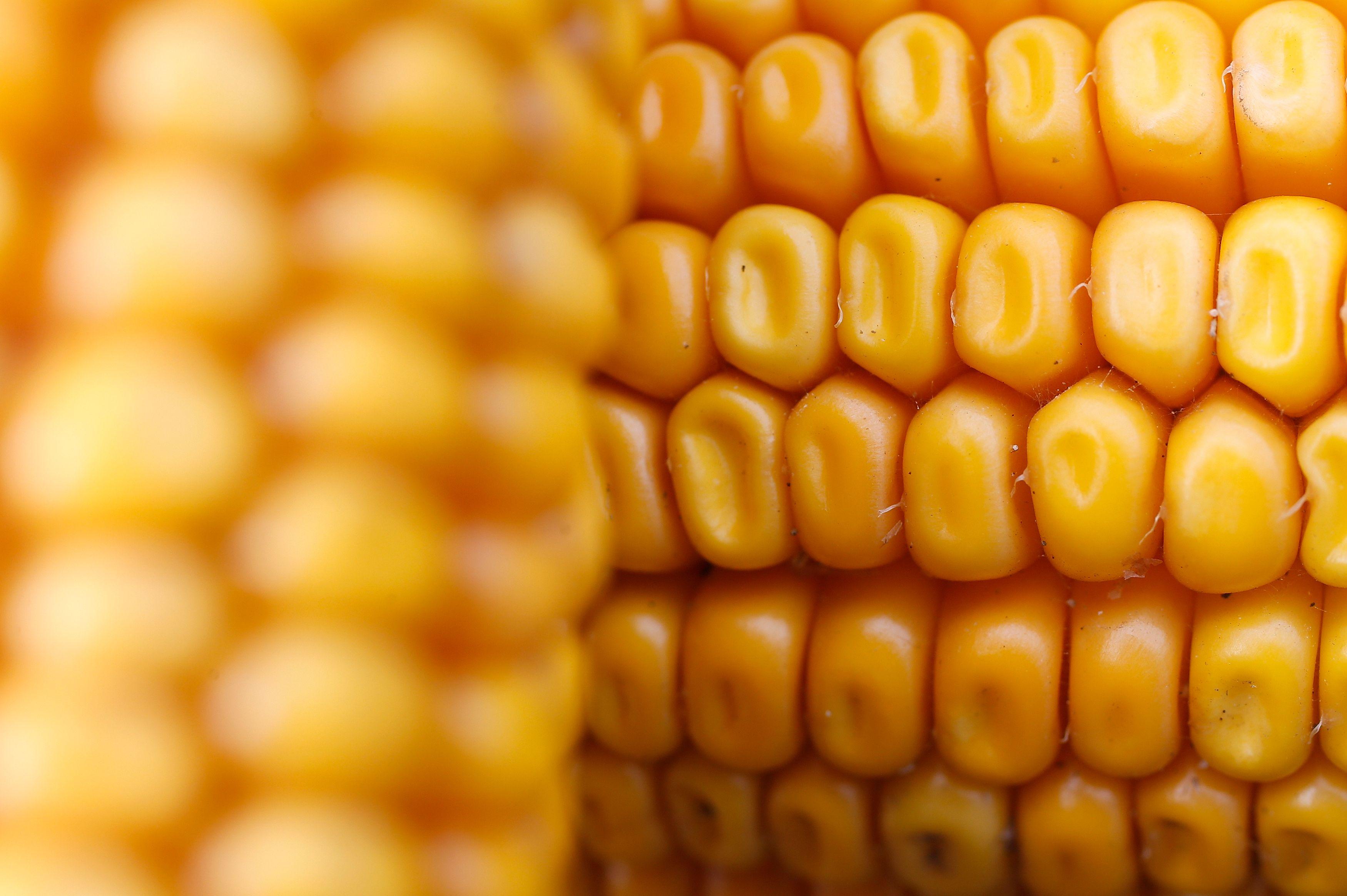 Photo d'illustration / Le Parlement européen a autorisé de la culture du maïs TC1507.