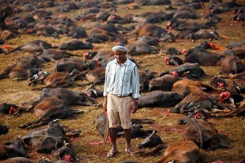 Ce week-end a eu lieu la fête de Gadhimai au Népal, l'occasion du plus grand sacrifice d'animaux au monde.