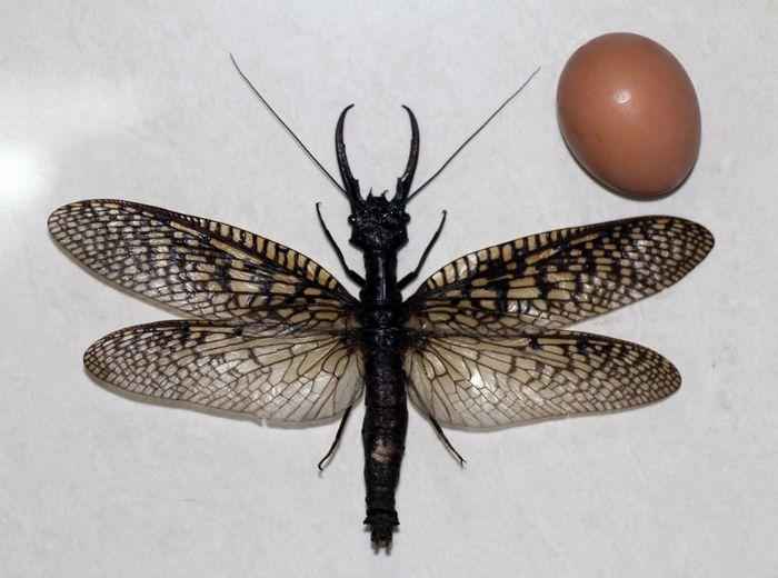Un insecte géant, un mégaloptère de 15 cm, a été découvert récemment en Chine