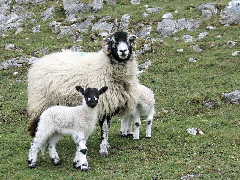 Les moutons pourraient bientôt envoyer des textos pour crier au loup.
