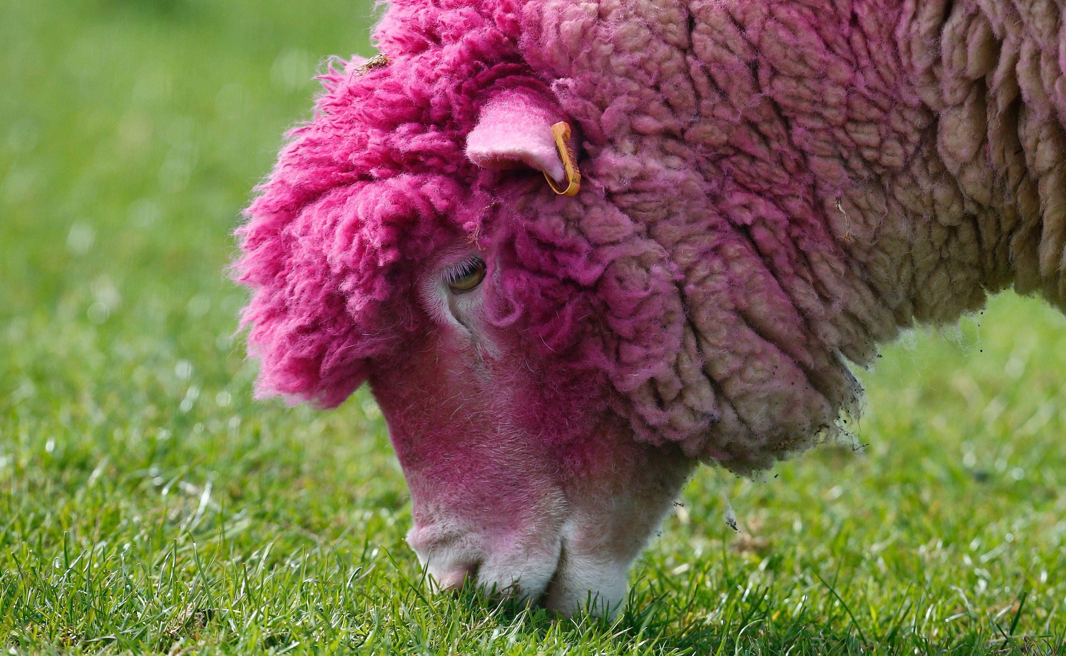 Il ne sert à rien d'être un mouton.