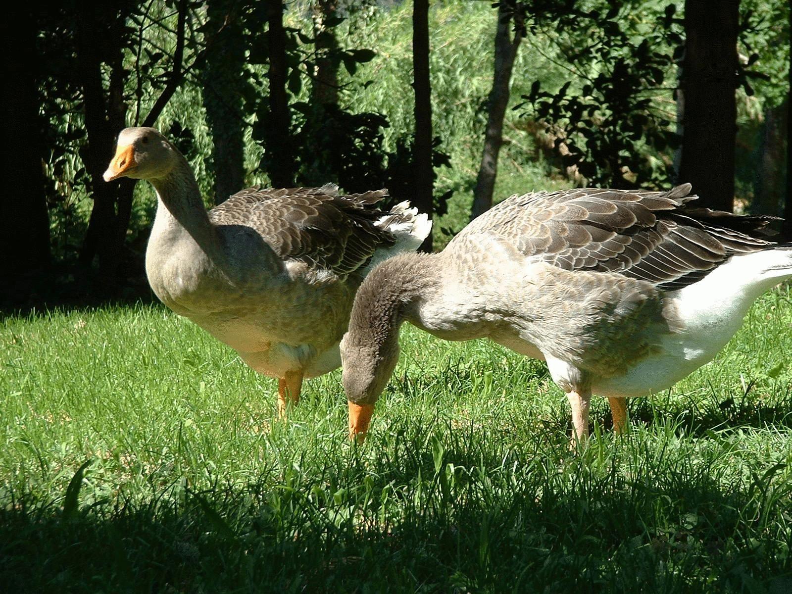 Le foie gras français est-il menacé ?