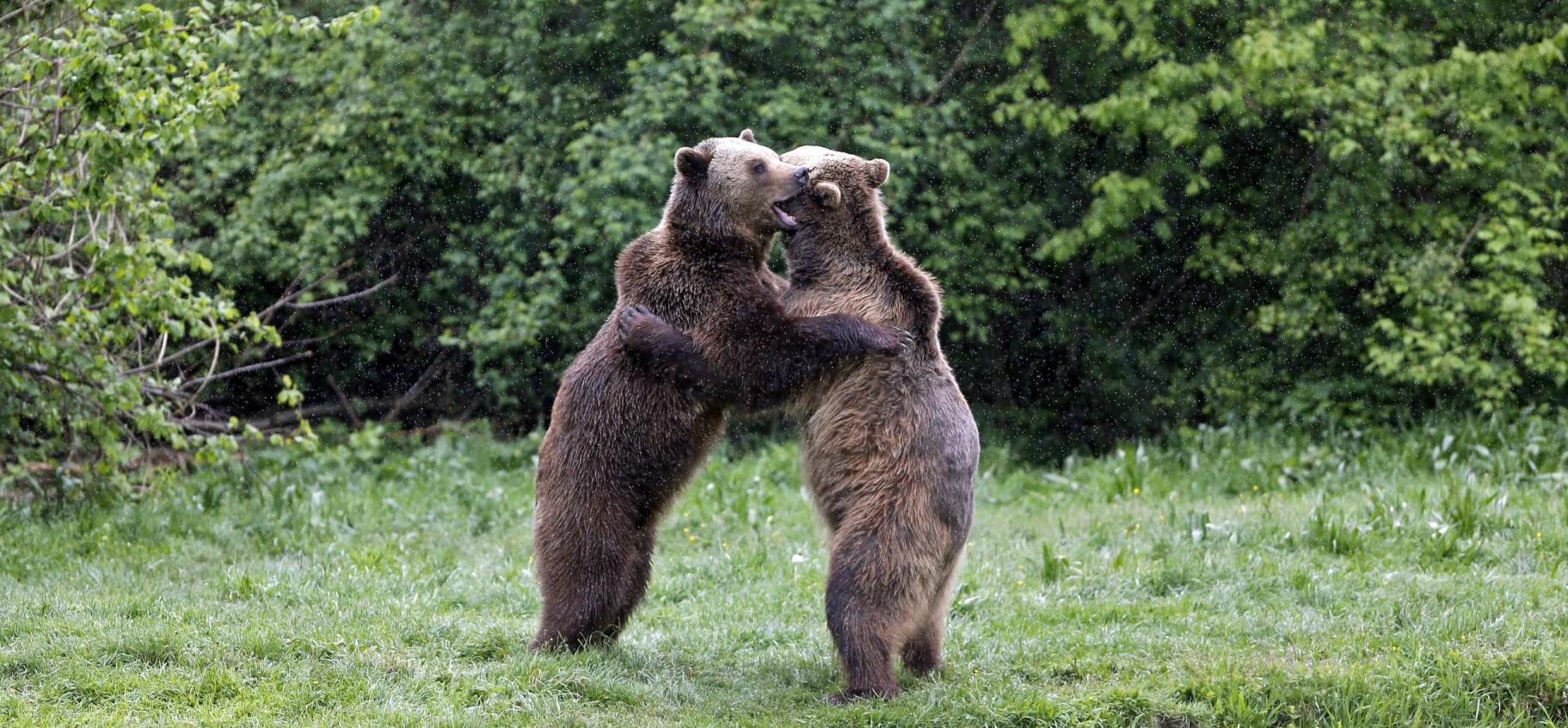 Un couple d'ours croates adepte de la fellation
