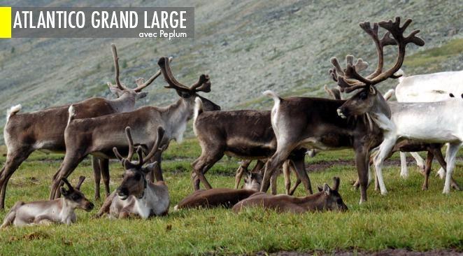 Ces caribous vivent au Nunavik, grand territoire du nord québécois.