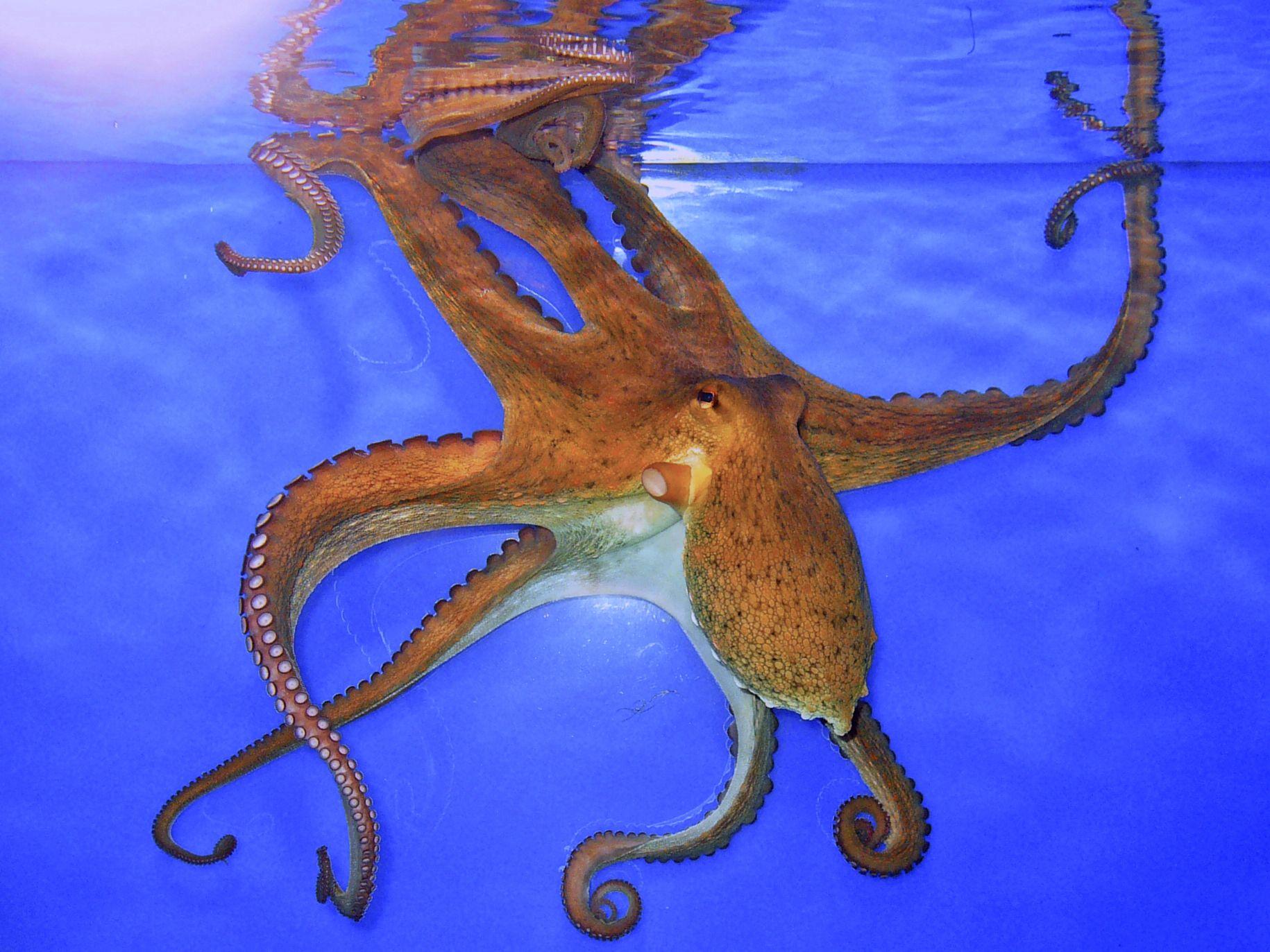 Le séquençage des pieuvres découvert et surprise, ils ont 10,000 gènes de plus que les humains