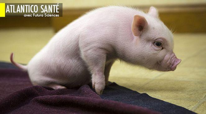 Un cochon génétiquement modifié - les chercheurs ont inactivé le gène de la myostatine - a vu le jour en Asie.