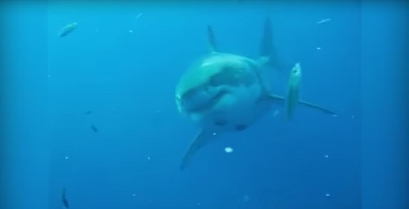 Australie : un grand requin blanc saute sur un bateau et attaque un pêcheur