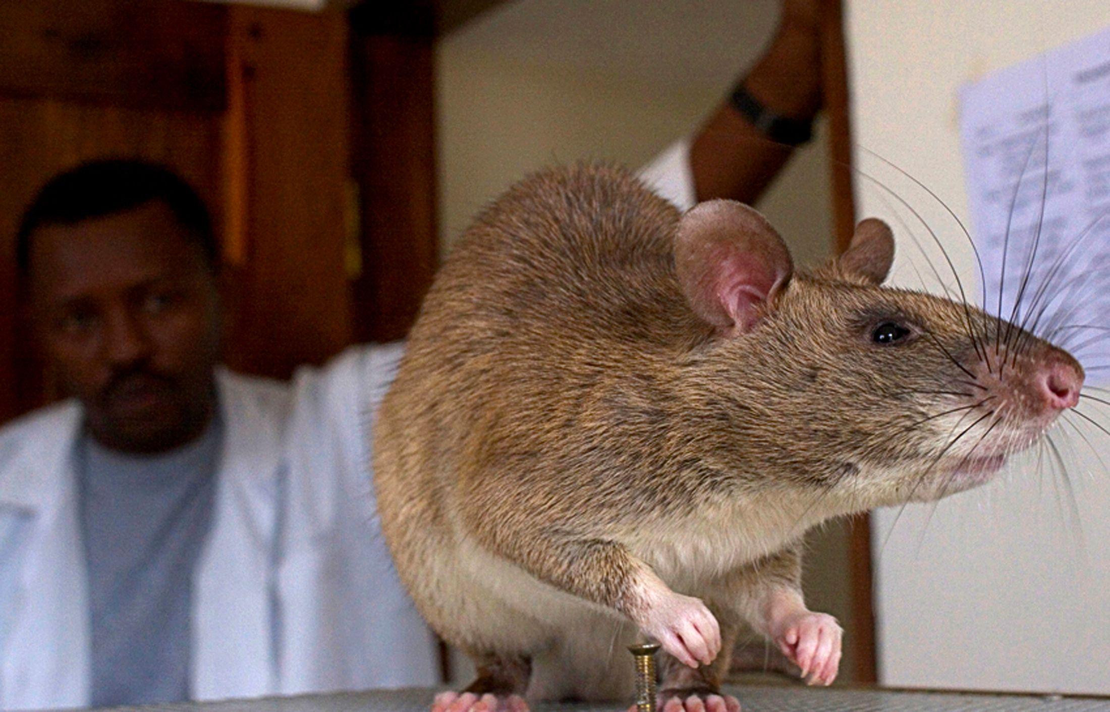 Les rats pourraient devenir plus gros que des vaches