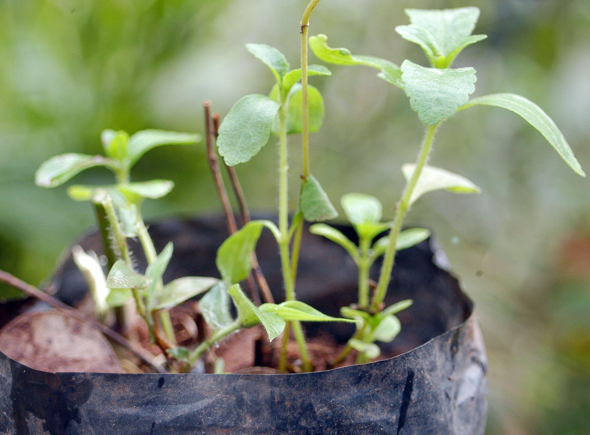 Le Stevia n'a rien de naturel.