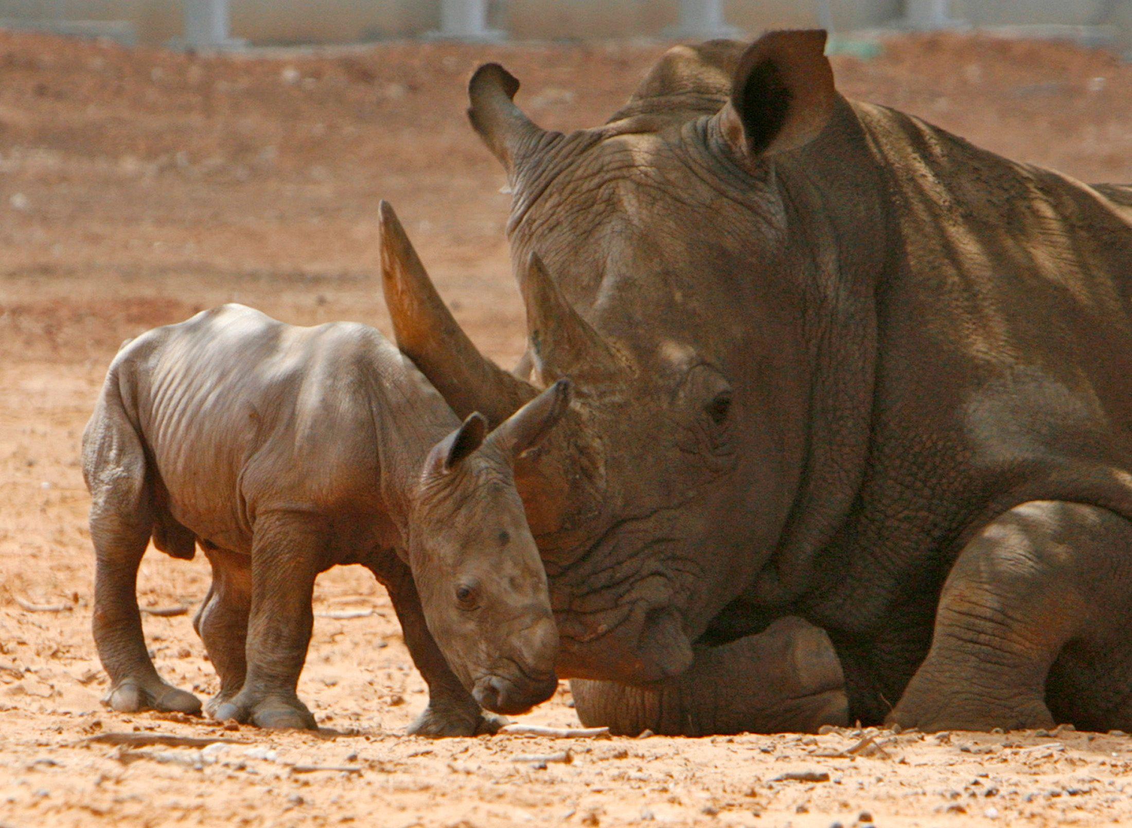 Le projet Rhinos Without Borders prévoit le déplacement d'une centaine de rhinocéros