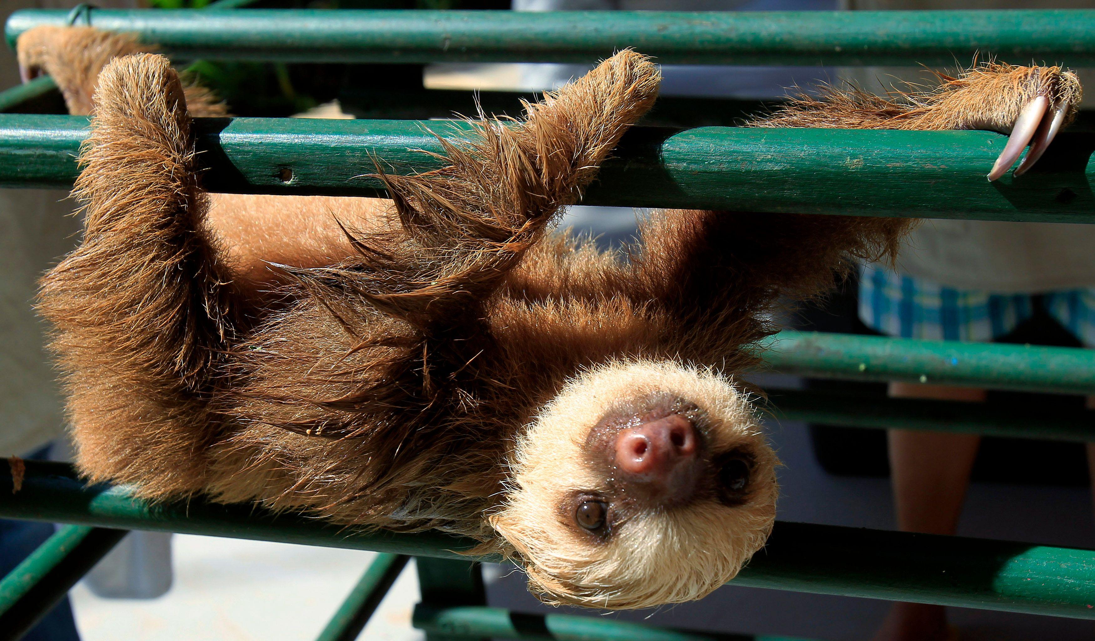 L'aï, un paresseux d'Amérique latine, ne défèque qu'une fois par semaine
