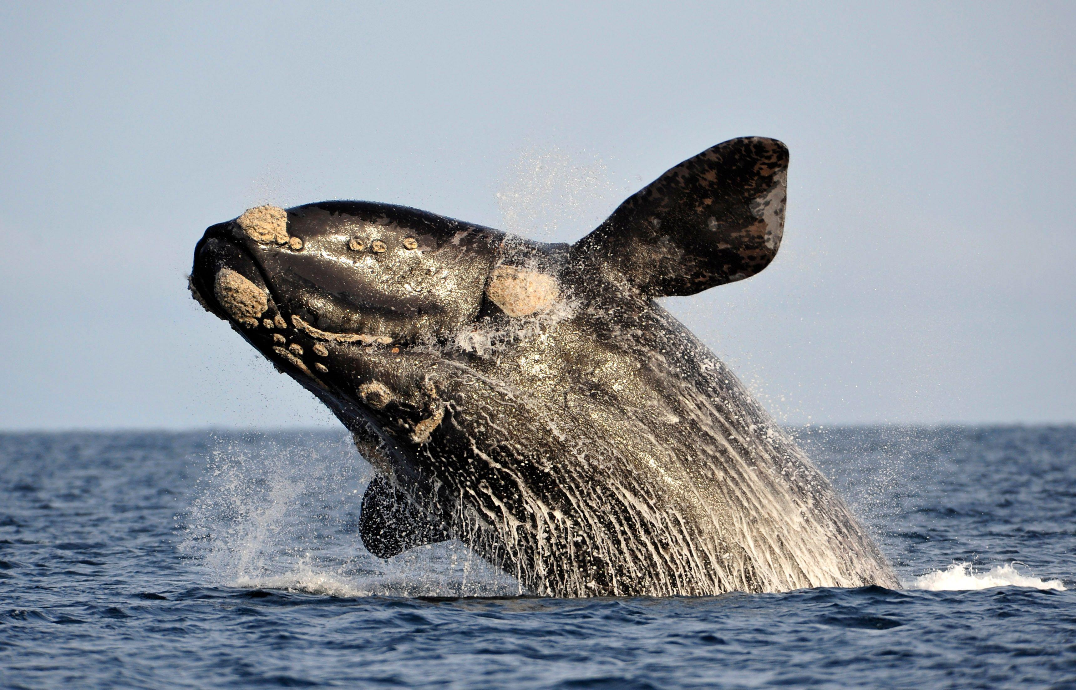 Les représentants japonais tentent de convaincre la CBI de l'importance scientifique de la chasse à la baleine.