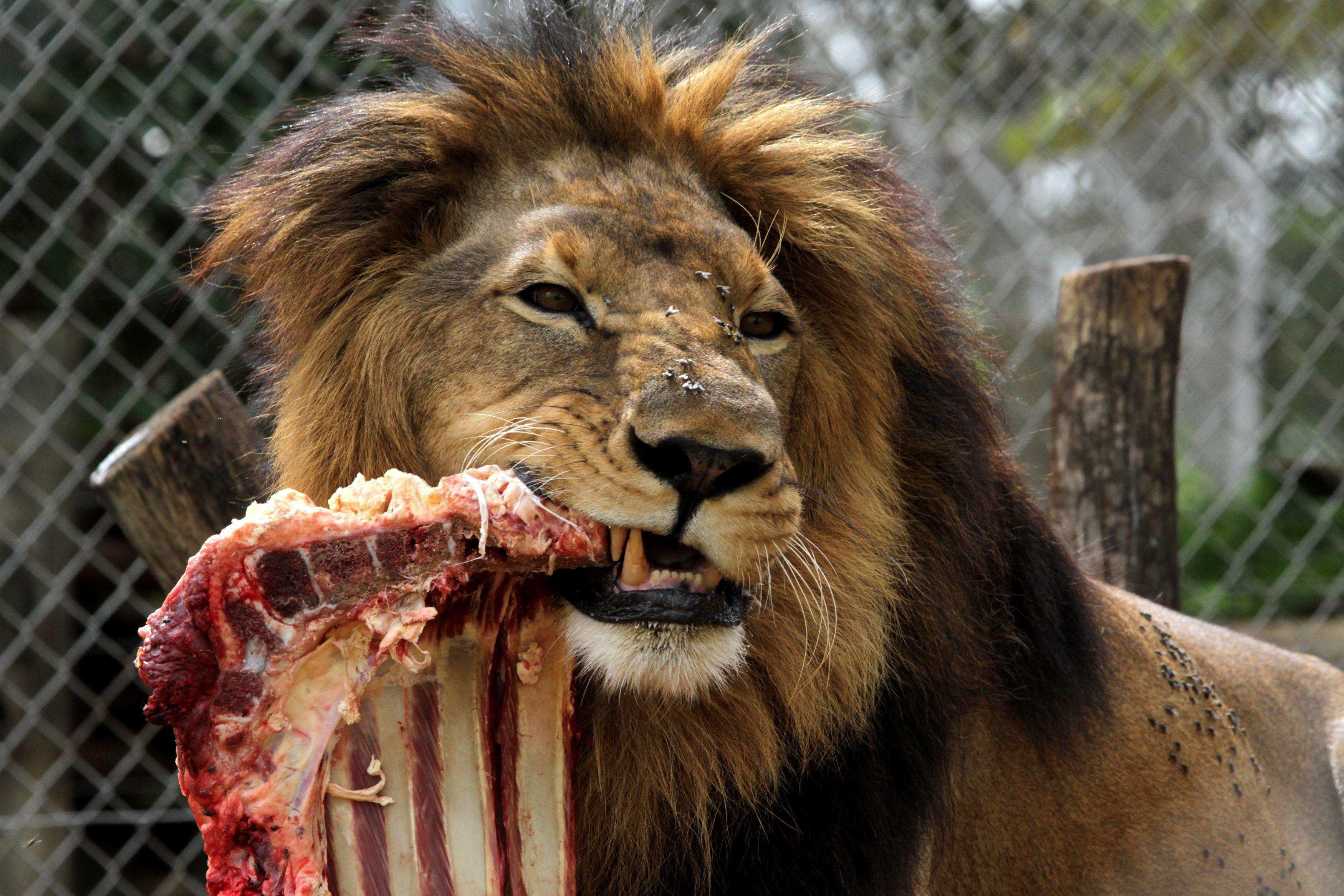 Grands carnivores : leur disparition menace l'écosystème