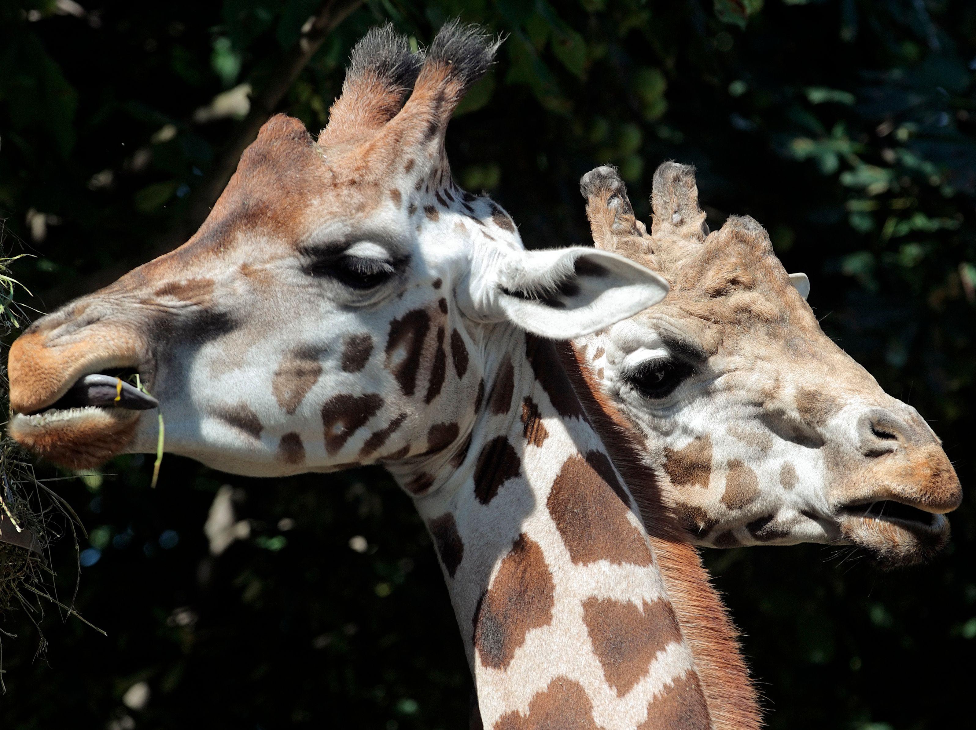 Des chercheurs Sud-Africains ont découvert de la viande de girafe dans des bâtonnets de viande censée être... de l'antilope.