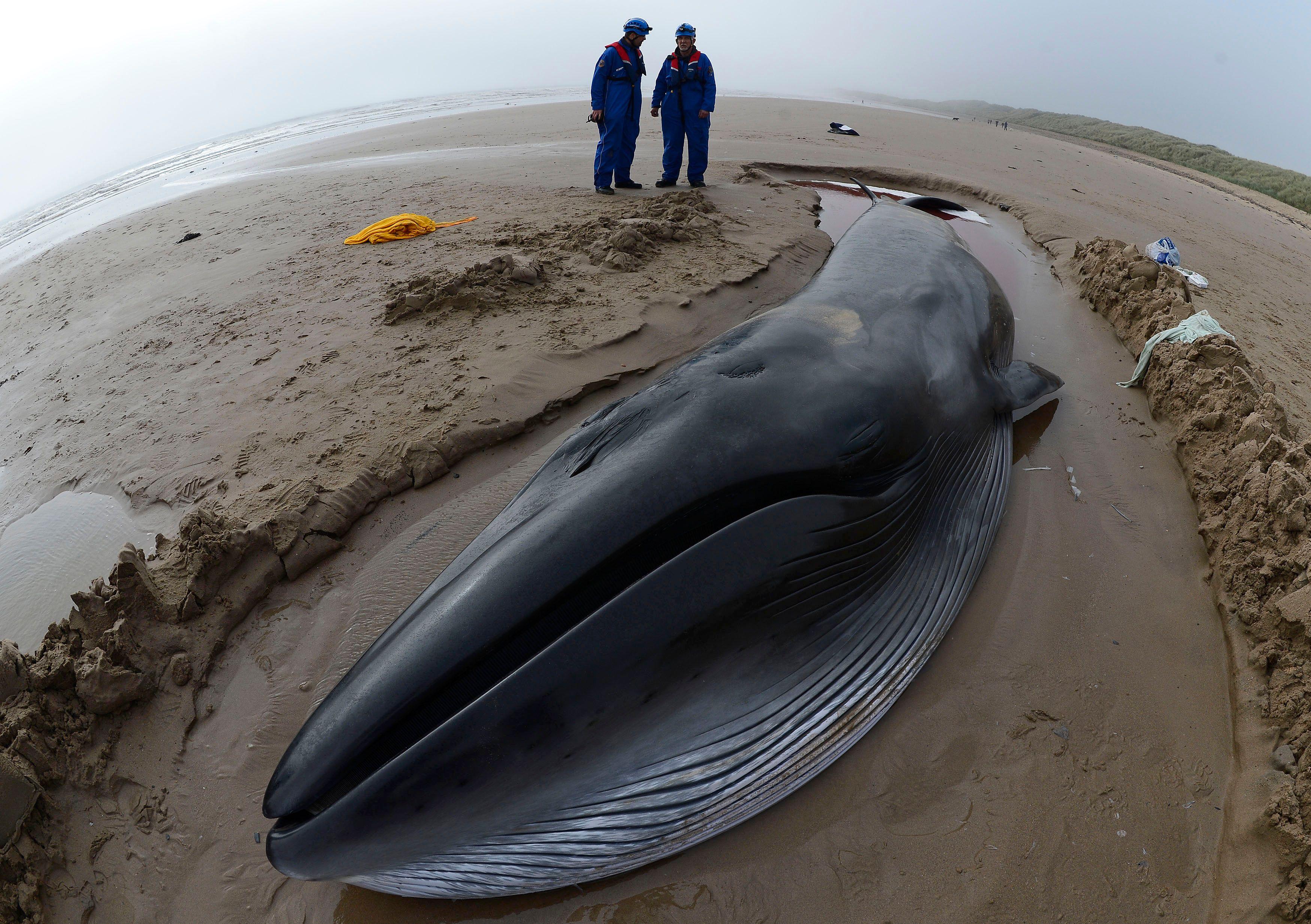 Selon les scientifiques, environ 2 baleines s'échouent sur les plages de New York chaque année