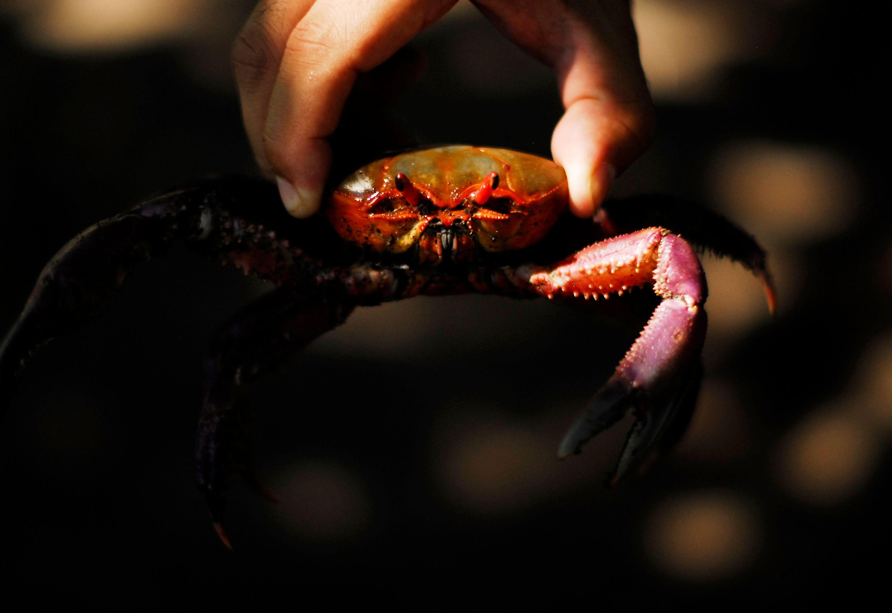 Une étude indique que les crabes peuvent ressentir la douleur.