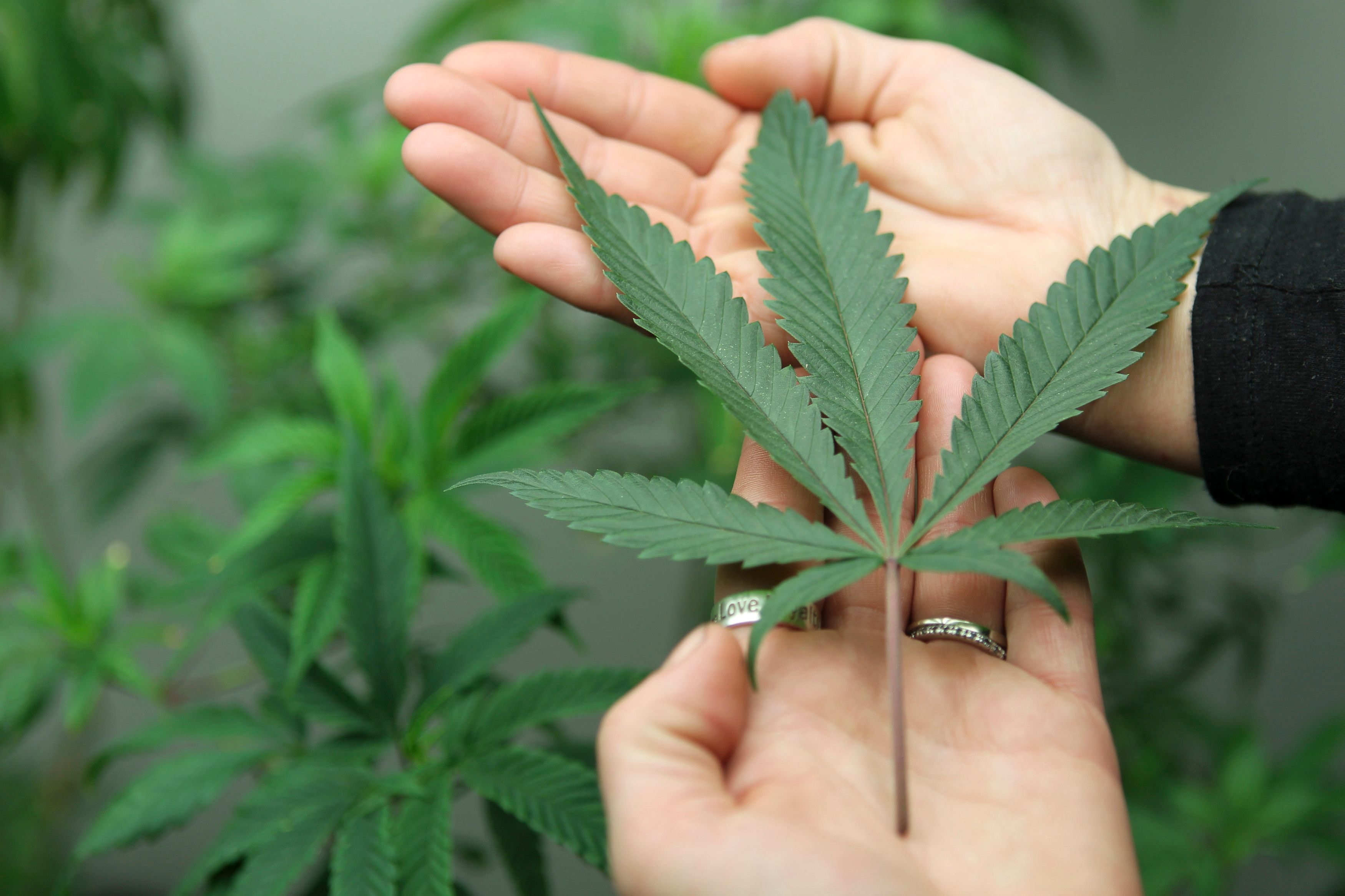 La France vient d'autoriser la vente du Sativex, un médicament dérivé du cannabis.