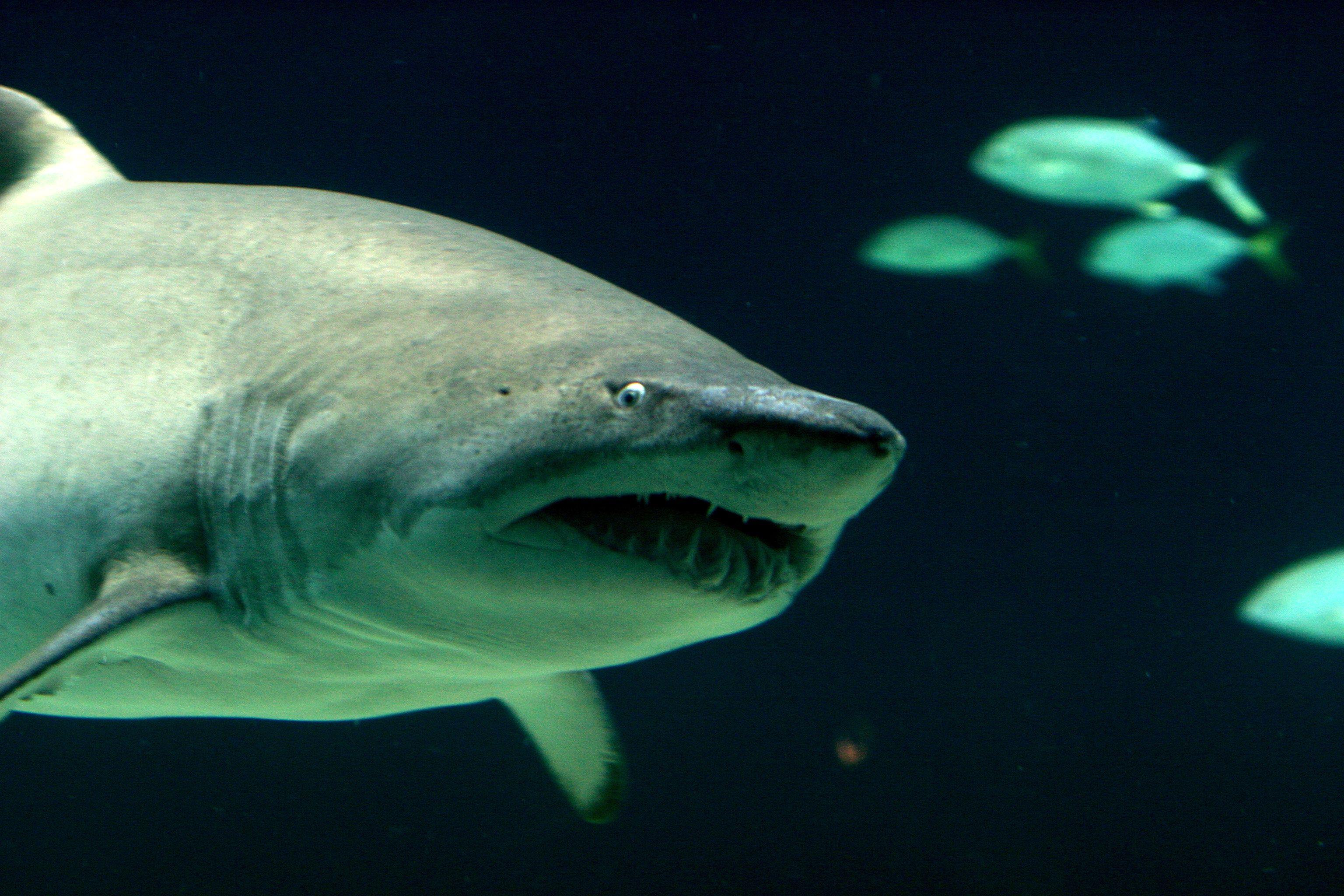 Une véritable psychose est née à la suite des attaques de requins sur l'Ile de la Réunion. Des squales seraient maintenant proches des côtes françaises de la Méditerranée, d'après Nice Matin.