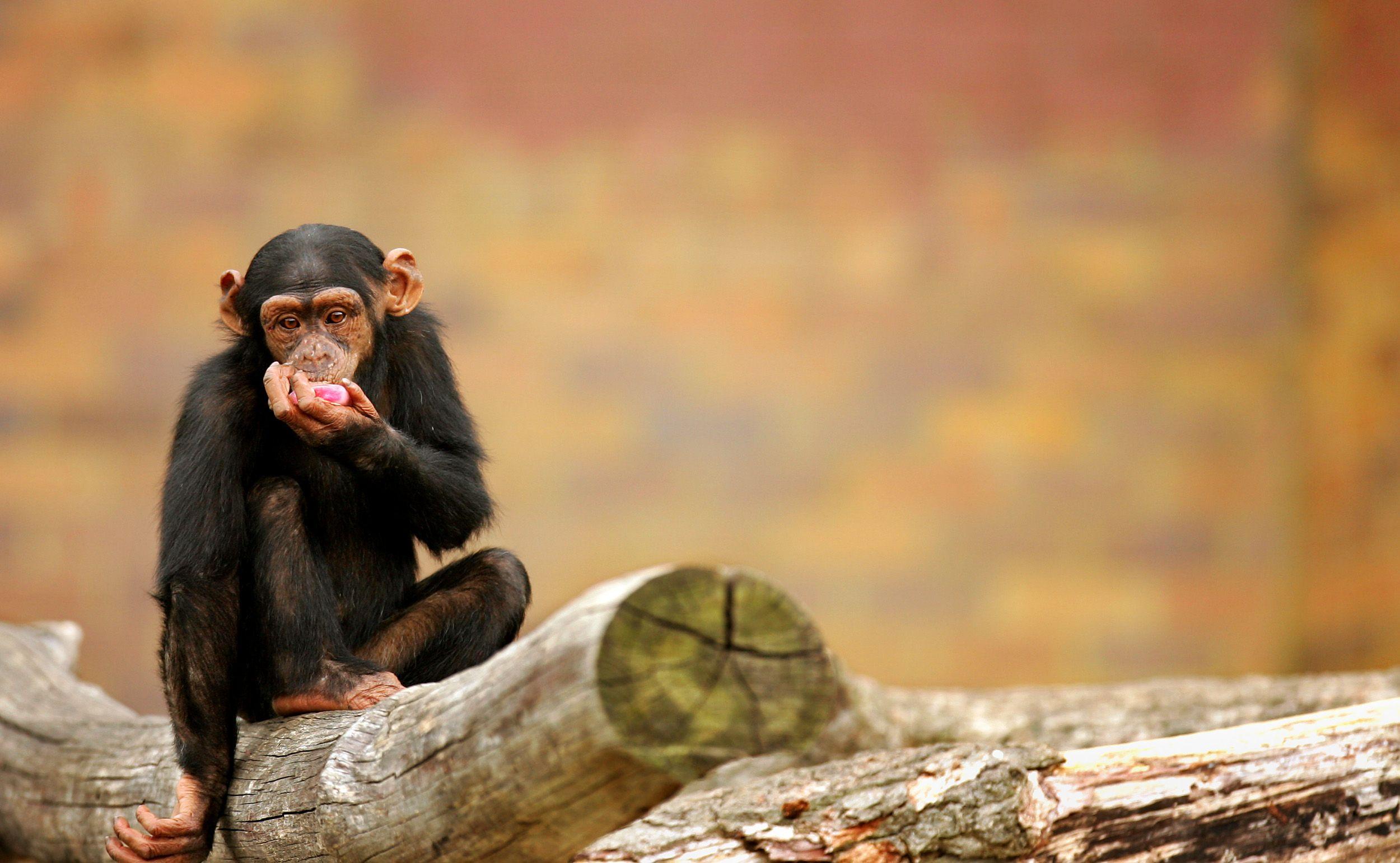 Un singe paralysé marche grâce un implant cérébral