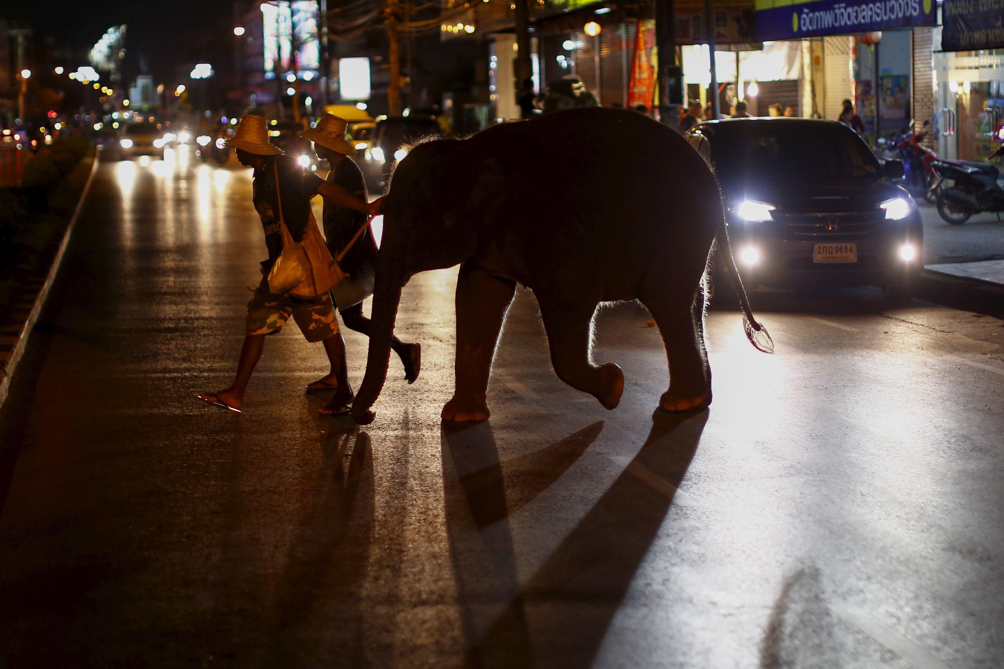 Ce zoo danois qui veut relâcher les éléphants dans la nature