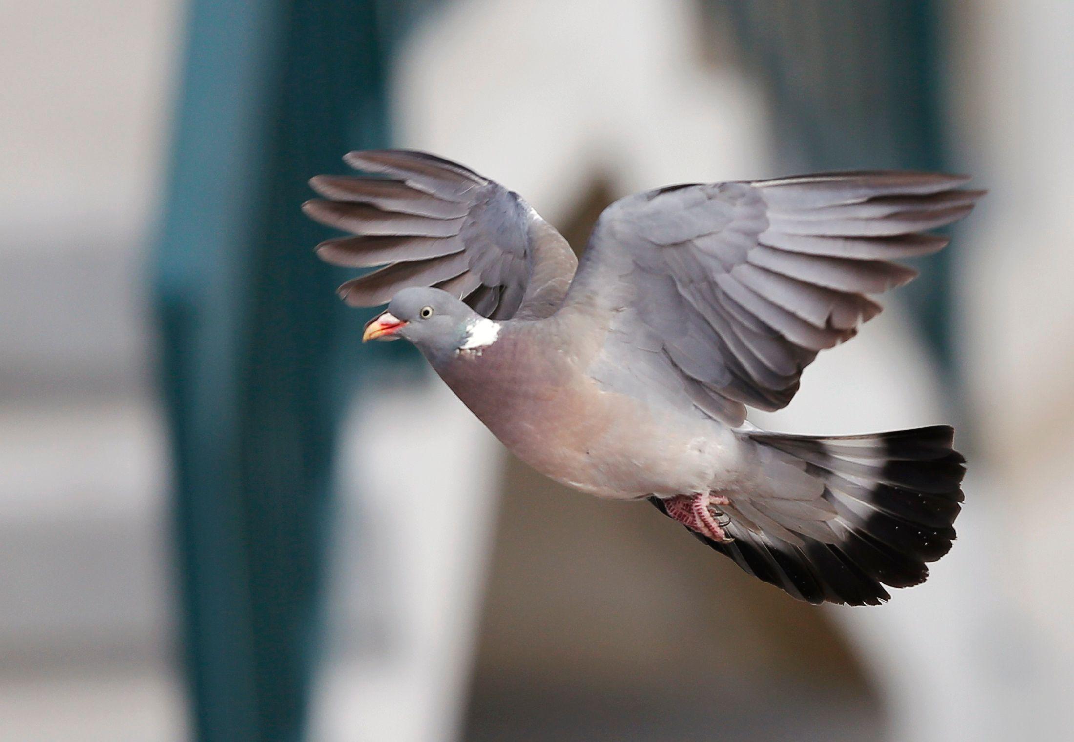 Argentine : un pigeon trafiquant de drogue abattu par la police