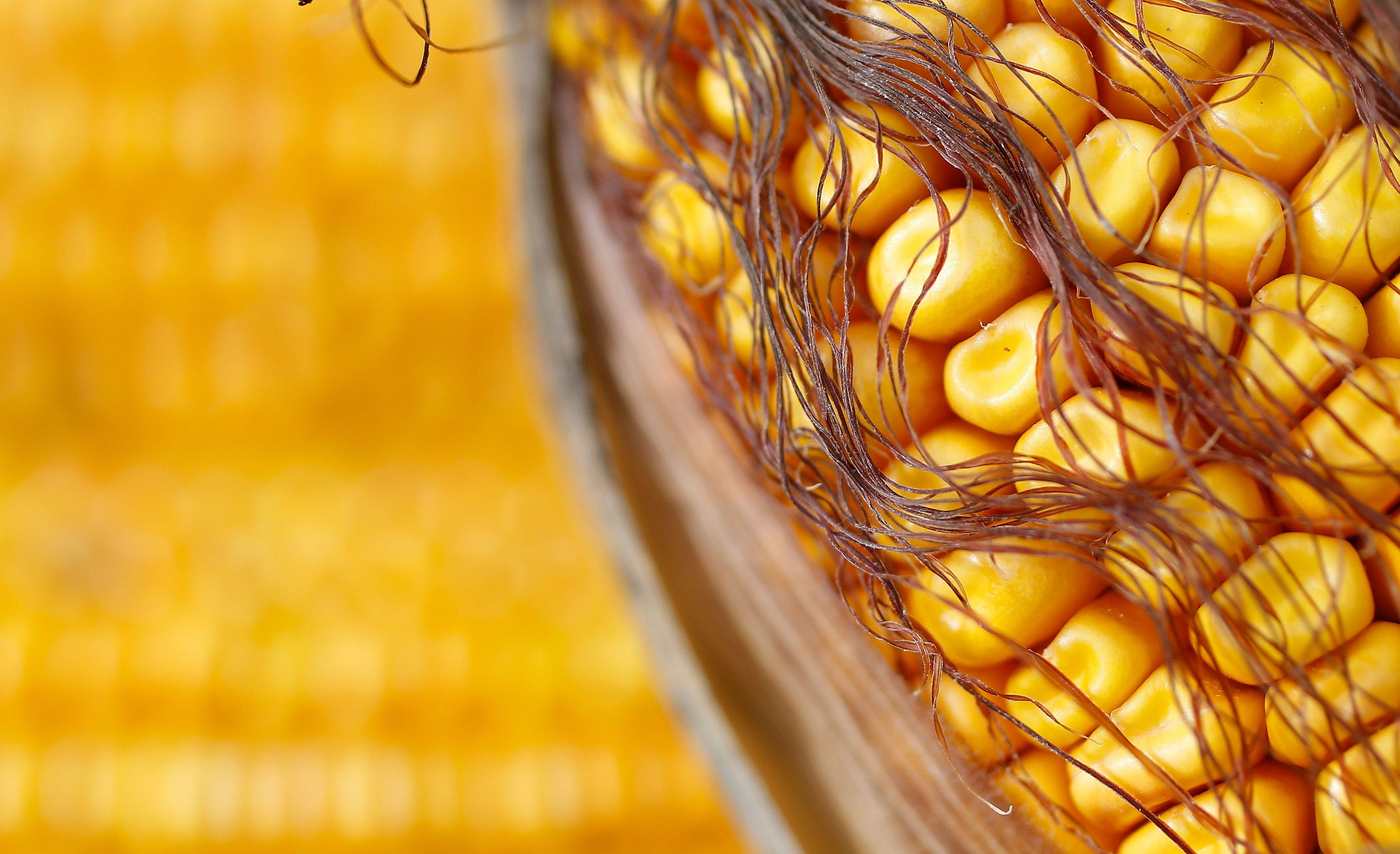 Monsanto : le Conseil d'Etat annule l'interdiction du maïs génétiquement modifié MON810