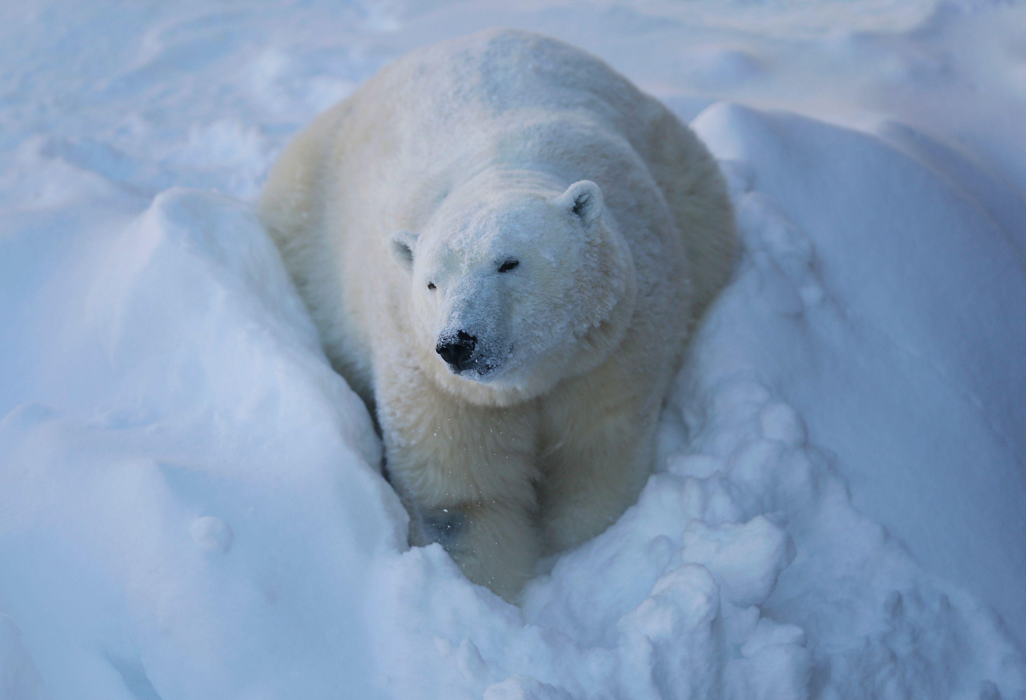 Dépressif, l'ours polaire Arturo attend son visa pour le Canada