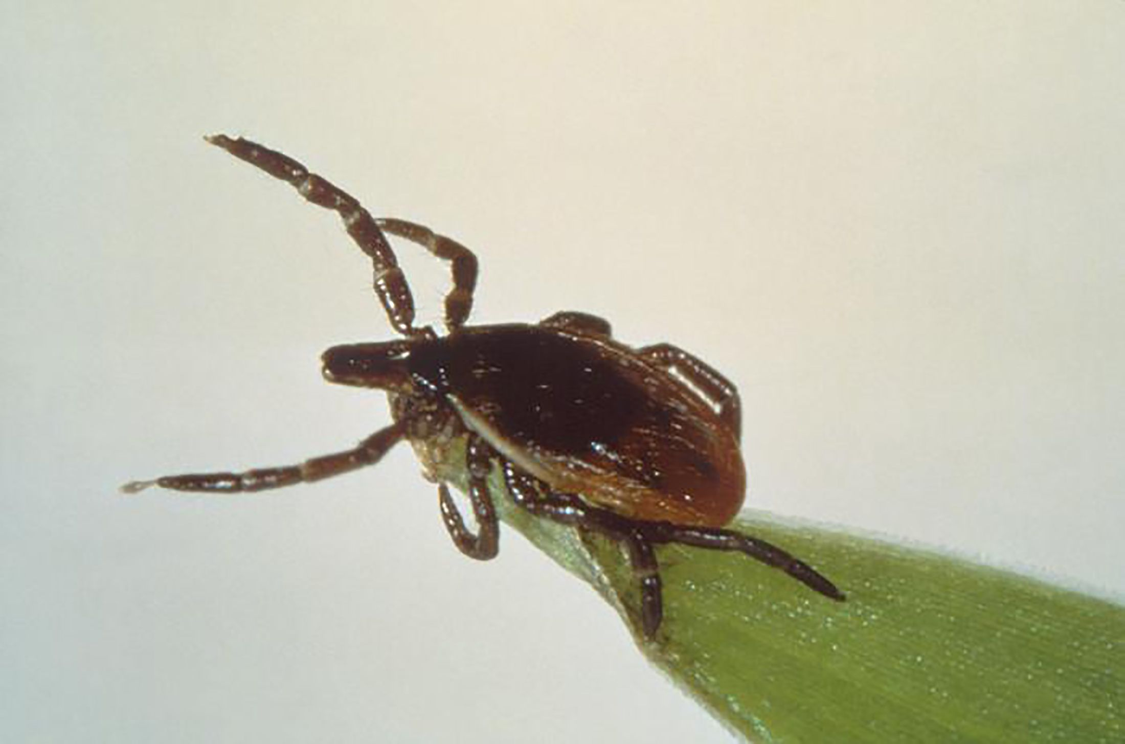 Lyme : des moyens existent pour se protéger des tiques
