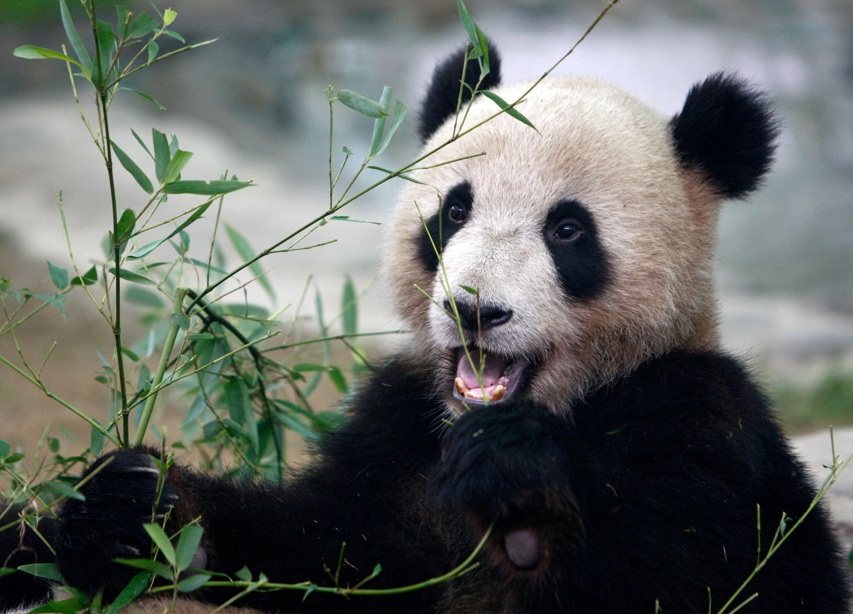 Le zoo de Beauval en deuil : un bébé panda est mort