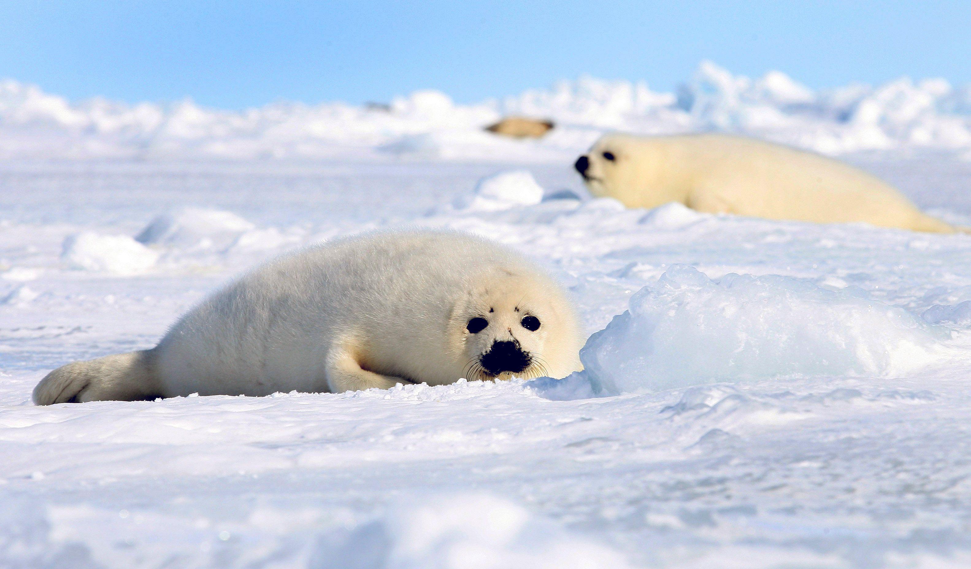 Le réchauffement climatique fait fondre la banquise et modifie tout son écosystème.