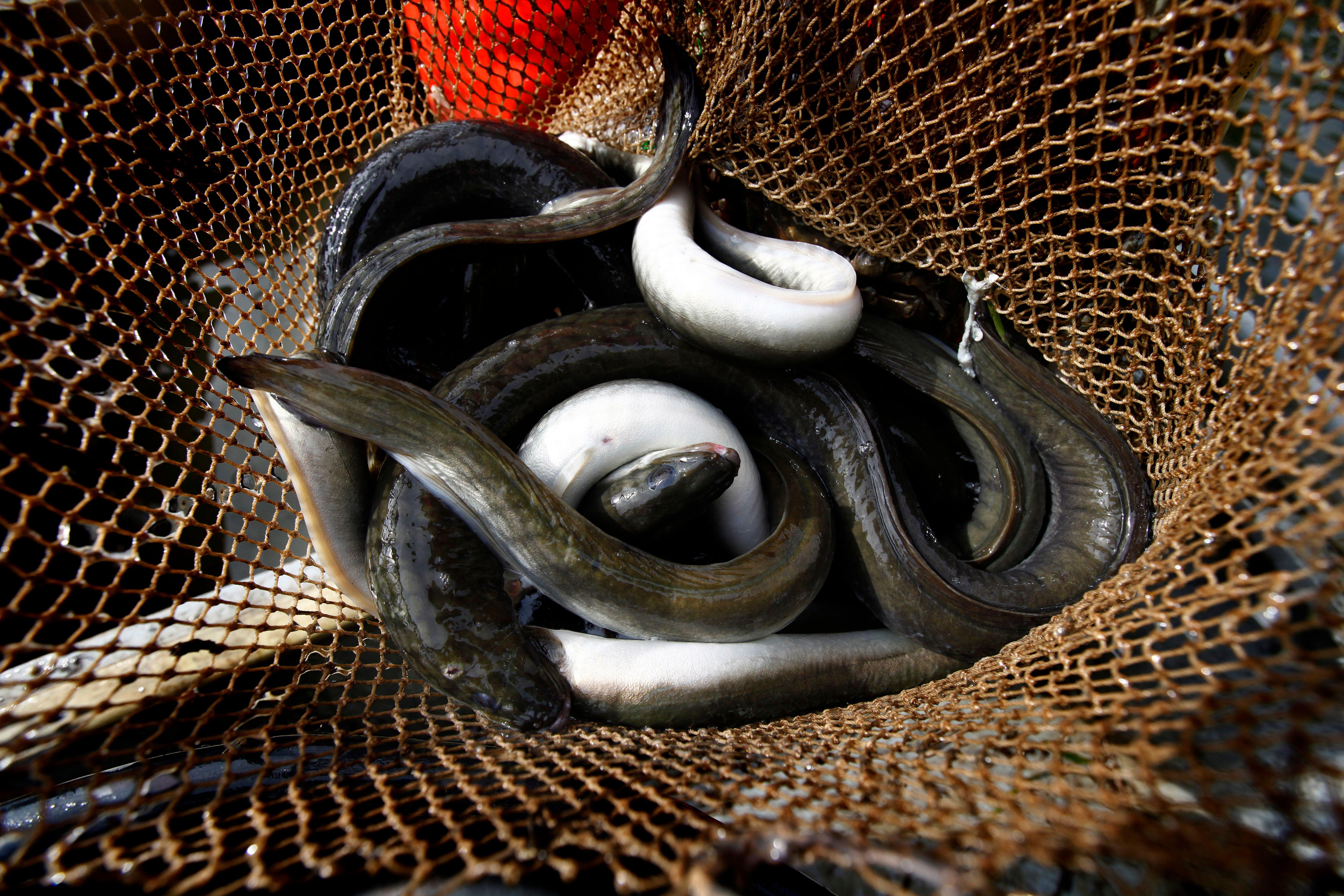 Ce sont les anguilles crues qui semblent avoir été le remède le plus populaire, pendant et après le Moyen Age.