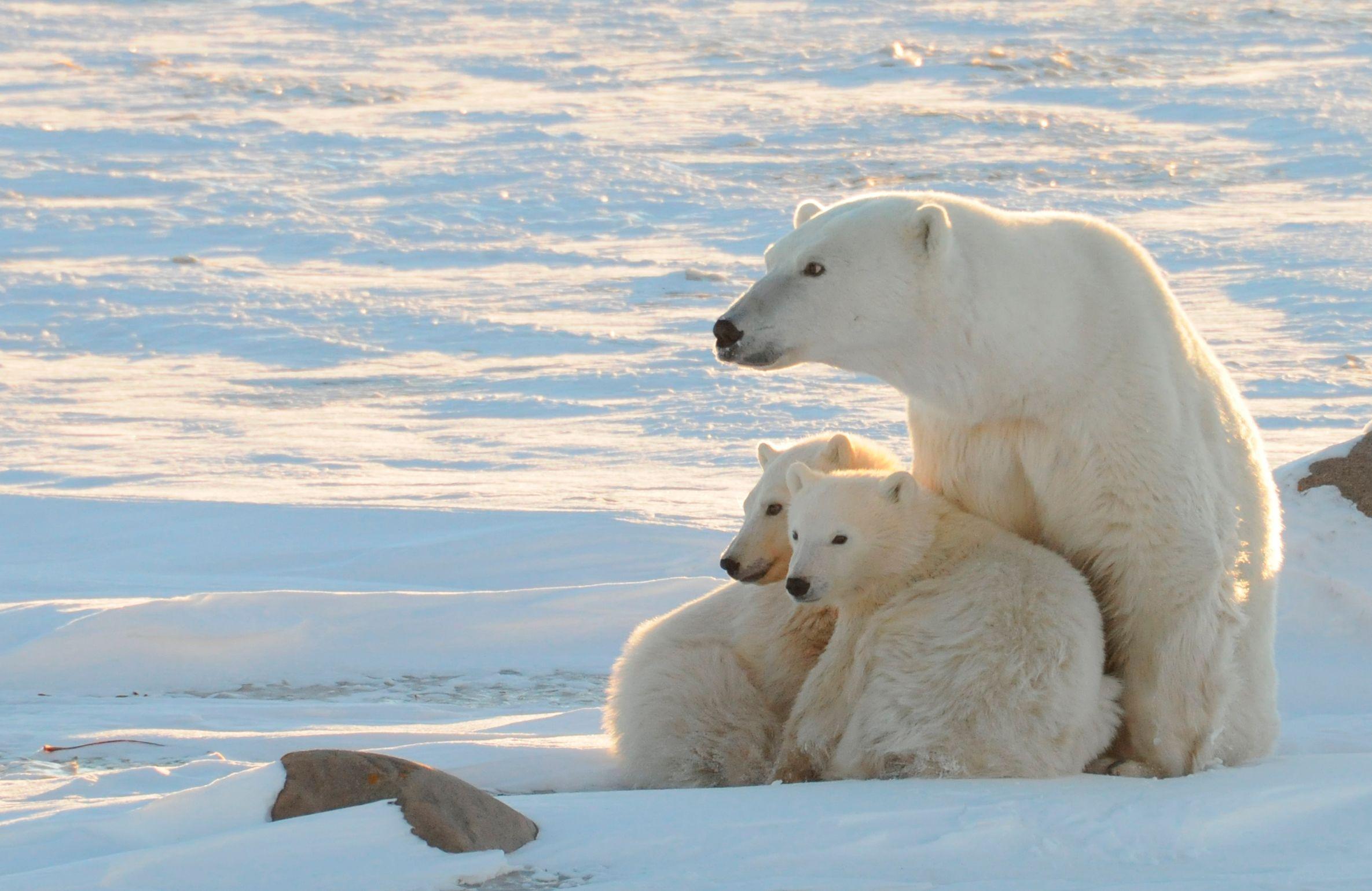 Des scientifiques russes sont piégés au milieu d'ours polaires
