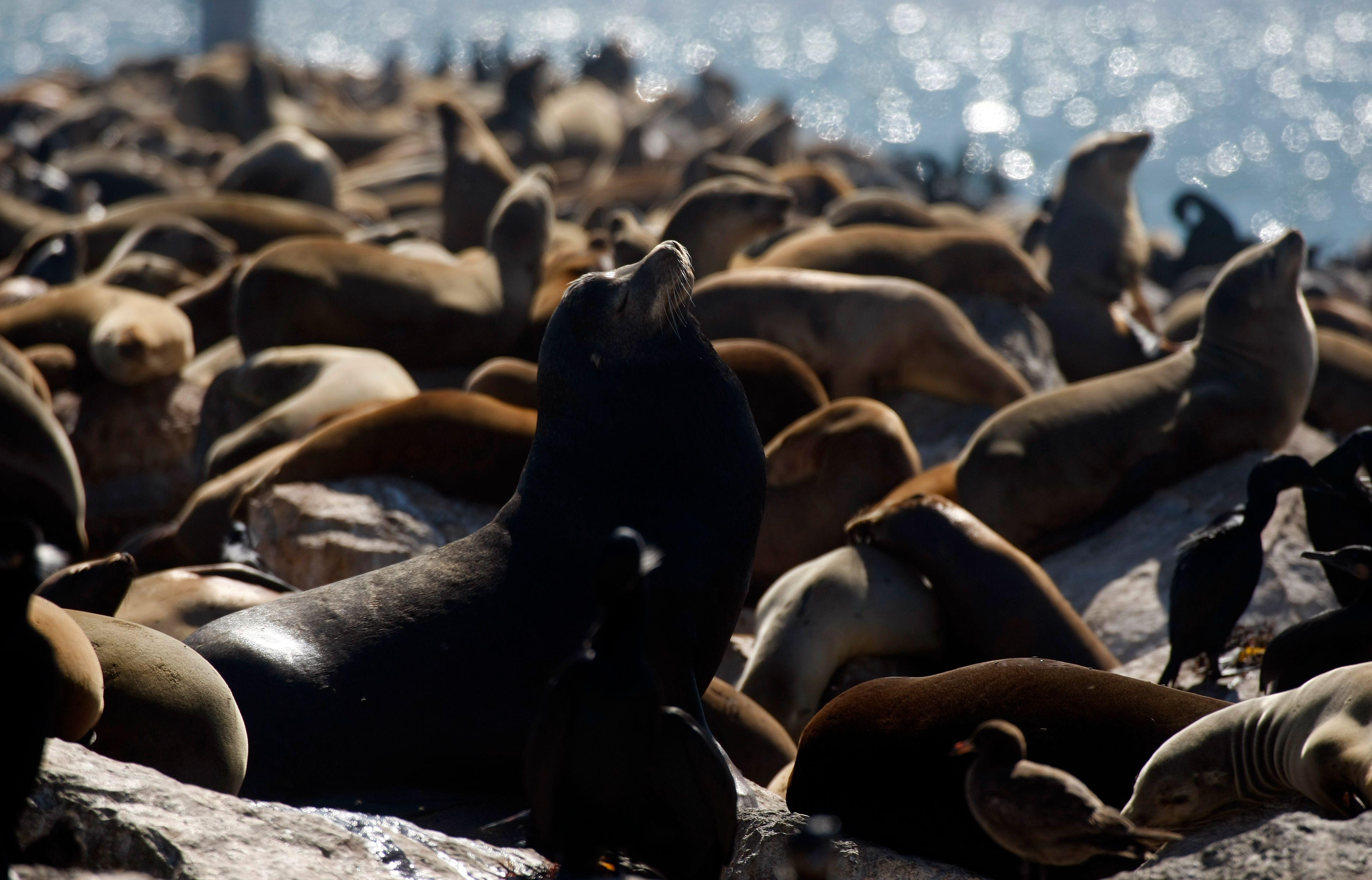 Le lion de mer est une espèce d'otarie