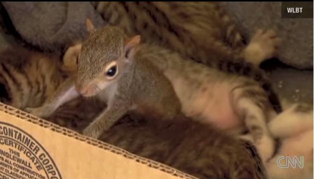 Rocky l'écureuil est élevé par un chat.