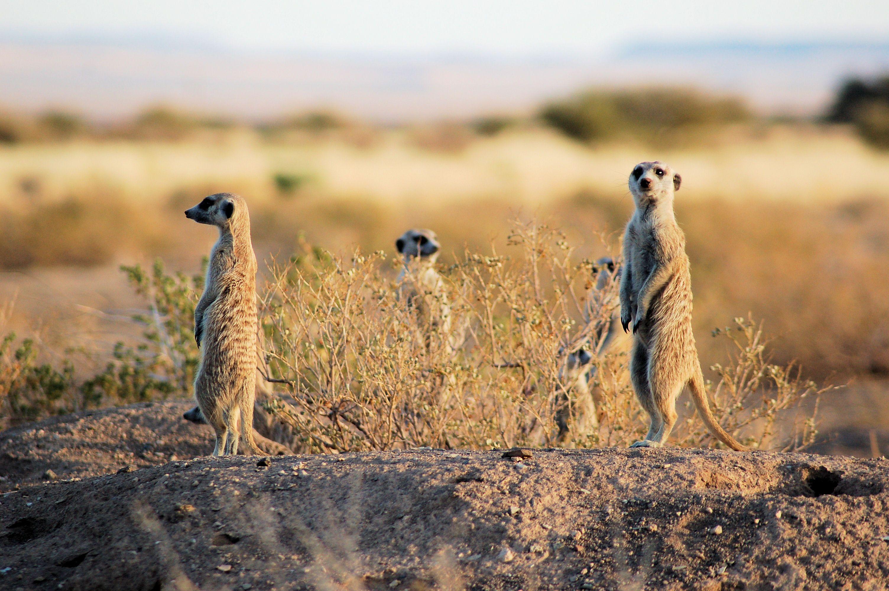 Et les mammifères qui s'entretuent le plus sont... les suricates