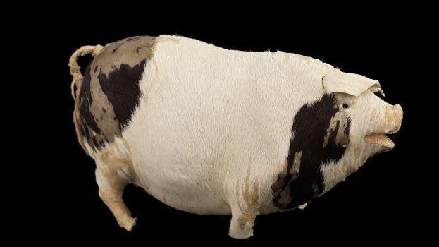 Les scientifiques espèrent que le public saura identifier la chanson du cochon musical.