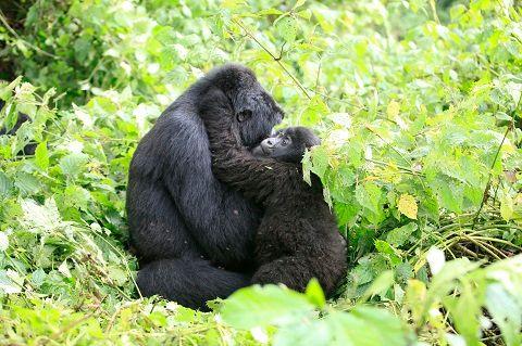 Le prince, la star et les gorilles : Emmanuel de Mérode ou l'homme qui risquait sa vie pour sauver les hommes et les animaux du parc de Virunga au Congo