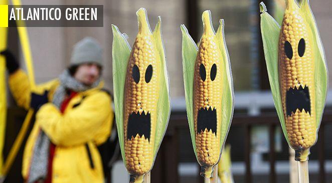 La masse des études menées depuis 25 ans sur les OGM tendraient à prouver qu'ils ne modifient en rien les animaux de ferme qui les consomment