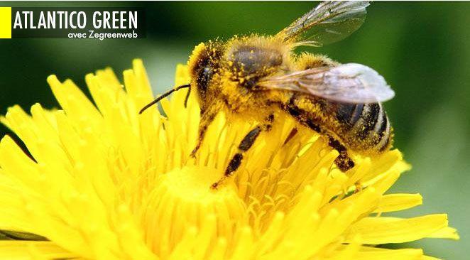 Menacées à la fois par les maladies, les parasites, les OGM, les insecticides, les pesticides, le frelon asiatique, voire par les ondes des téléphones portables, les abeilles voient leurs populations fondre comme neige au soleil depuis plusieurs décennies